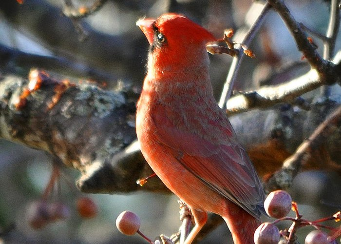 Nava Thompson Greeting Card featuring the photograph Red Cardinal Pose by Nava Thompson