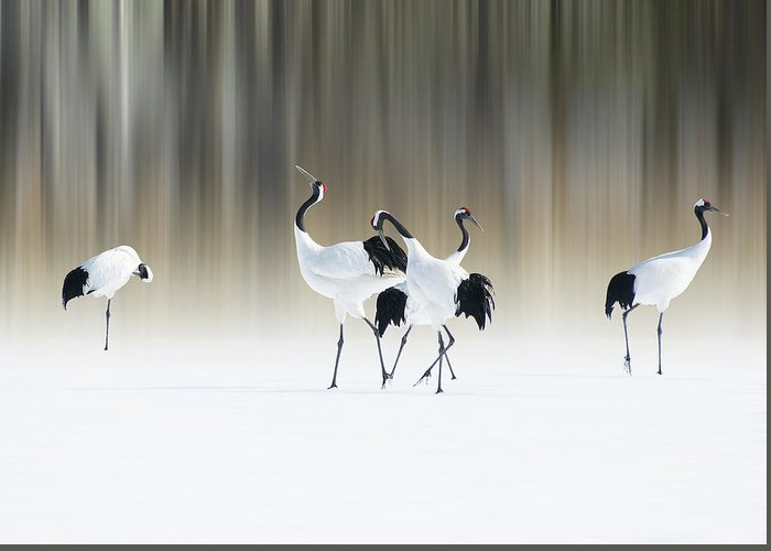 Bird Greeting Card featuring the photograph Red-crested White Cranes by Ikuo Iga