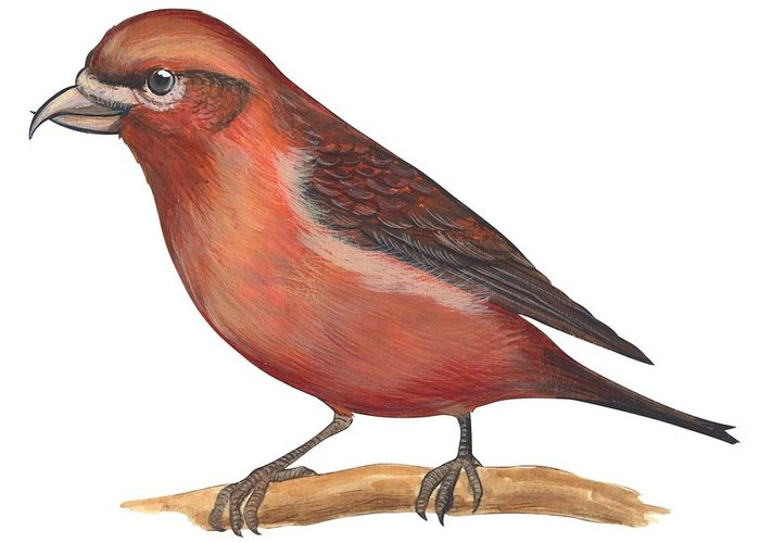 No People; Horizontal; Side View; Full Length; White Background; One Animal; Wildlife; Close Up; Zoology; Illustration And Painting; Bird; Branch; Perching; Beak; Feather; Red; Red Crossbill; Loxia Curvirostra Greeting Card featuring the drawing Red Crossbill by Anonymous