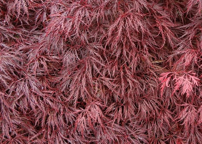 Red Dragon Japanese Maple Photograph By Sarah Malley
