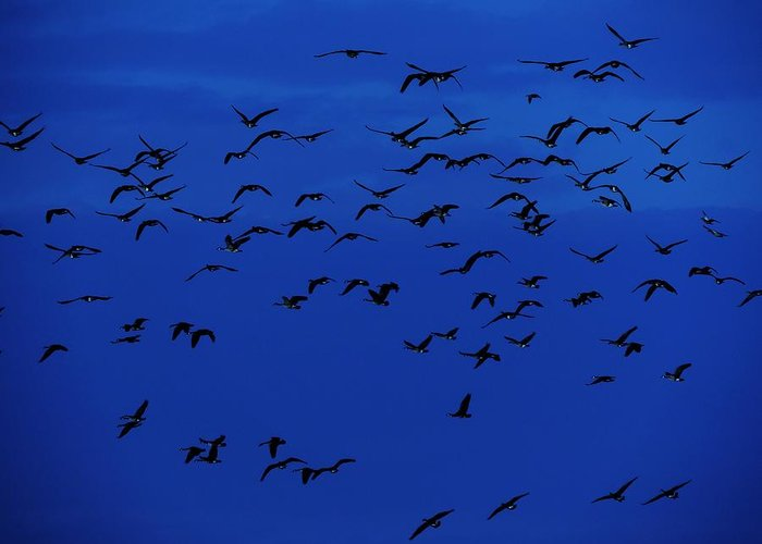Birds In Flight At Night Greeting Card featuring the photograph Red Eye Flight by Todd Sherlock