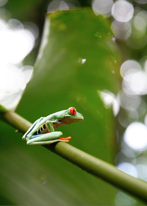 Agalychnis Callidryas Greeting Card featuring the photograph Red Eyed Tree Frog, Agalychnis by Yadid Levy