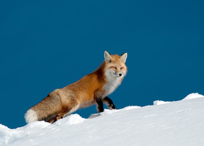 Red Fox Greeting Card featuring the photograph Red Fox by Gary Beeler