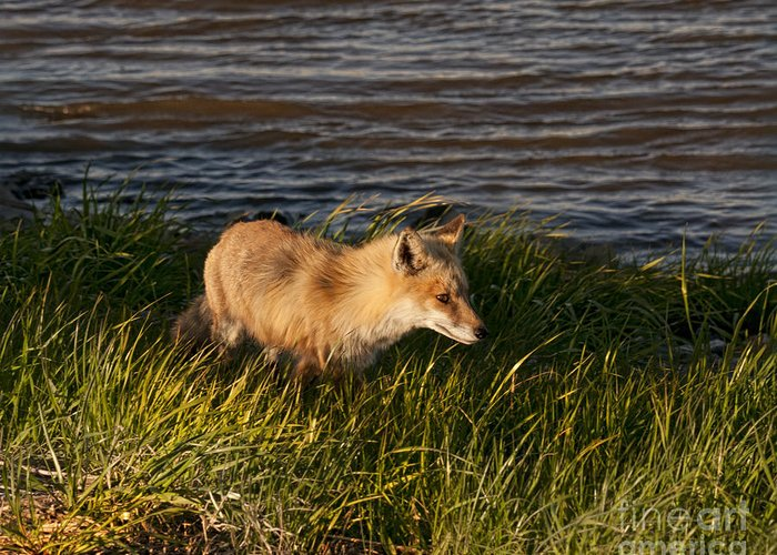 Fox Greeting Card featuring the photograph Red Fox Hunting The Edges At Sunset by Timothy Flanigan and Debbie Flanigan Nature Exposure