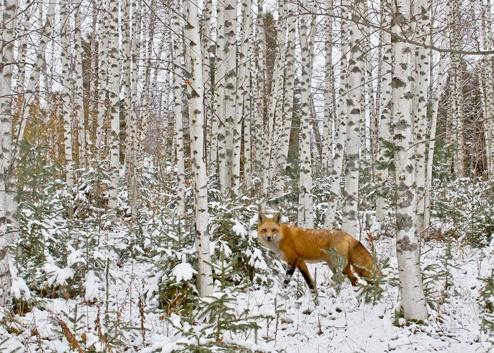 Barn Greeting Card featuring the photograph Red Fox In Birches by Jack Zievis
