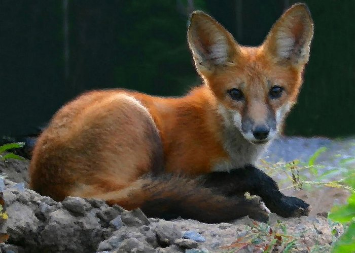 Red Fox Greeting Card featuring the photograph Red Fox by Kristin Elmquist