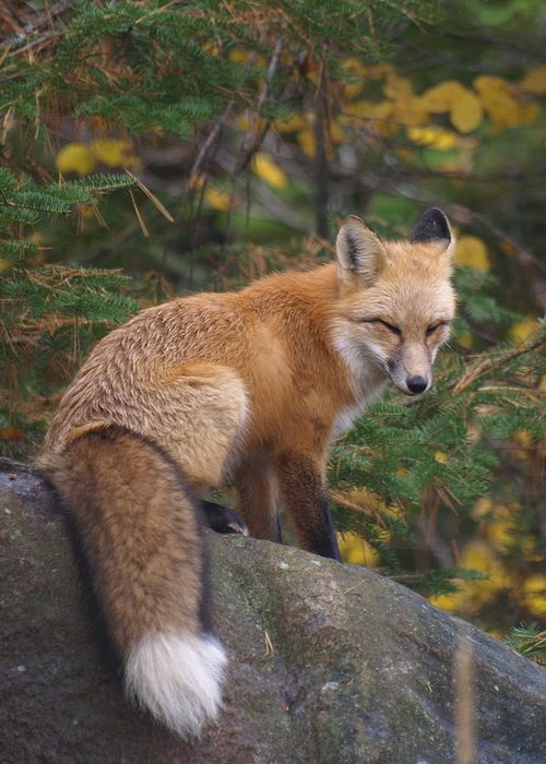Foxes Greeting Card featuring the photograph Red Fox by James Peterson
