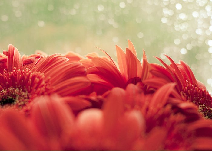 Gerbera Greeting Card featuring the photograph Red Gerbera With Green Background by Anastasia Egorova