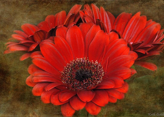 Red Greeting Card featuring the photograph Red Gerberas by Keith Gondron