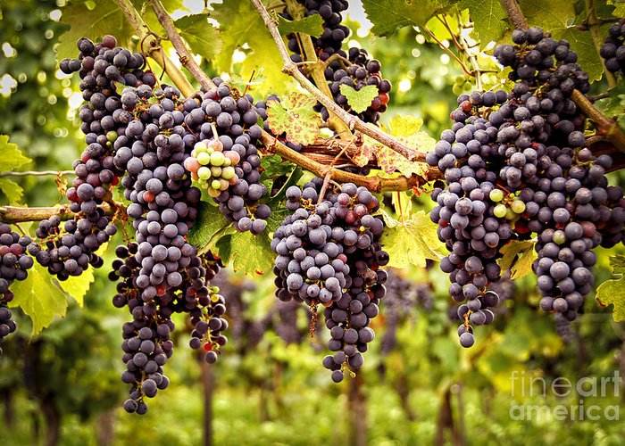 Grape Greeting Card featuring the photograph Red Grapes In Vineyard by Elena Elisseeva