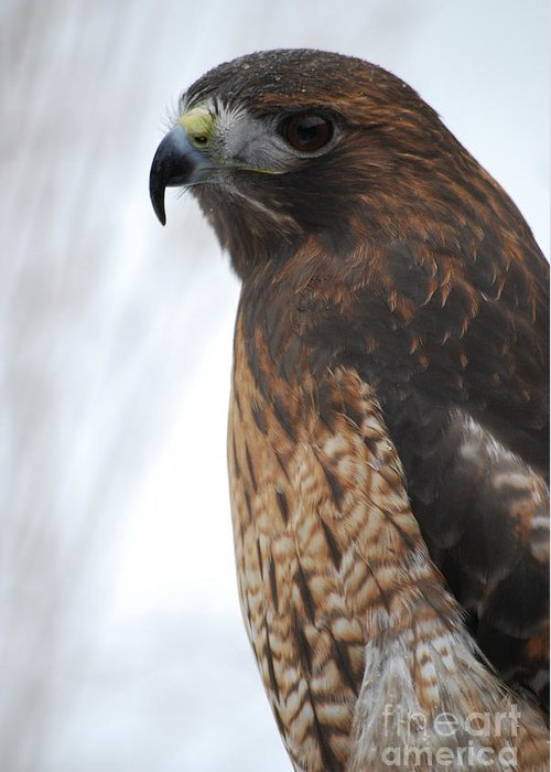 Red Hawk Greeting Card featuring the photograph Red Hawk I by Sharon Elliott