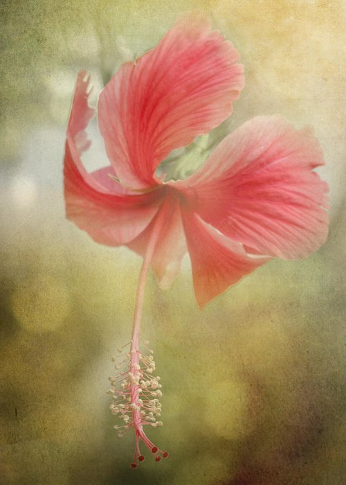 Close Up Greeting Card featuring the photograph Red Hibiscus by David and Carol Kelly