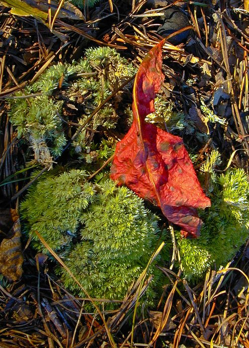 Red Greeting Card featuring the photograph Red Leaf On Moss by Douglas Barnett