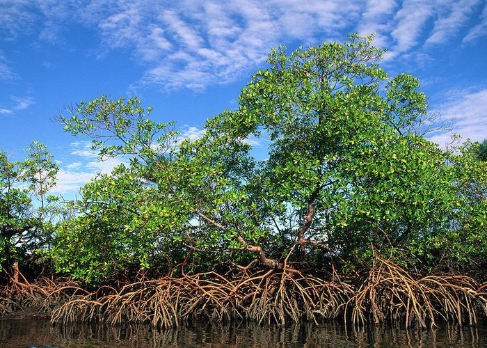 Acanthaceae Greeting Card featuring the photograph Red Mangrove East Coast Brazil by Pete Oxford
