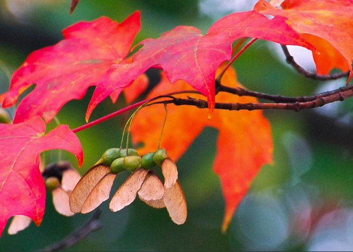 Red Leaves Greeting Card featuring the photograph Red Maple Leaves by Amy Porter