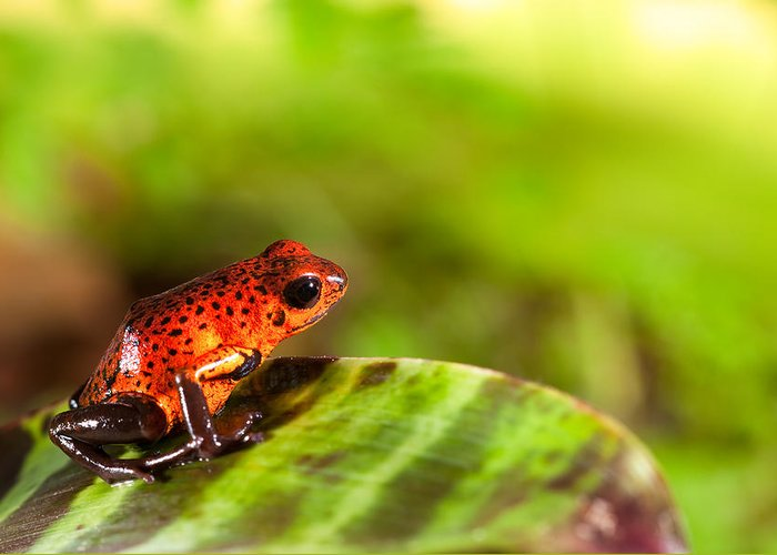 Amazon Greeting Card featuring the pyrography Red Poison Dart Frog by Dirk Ercken