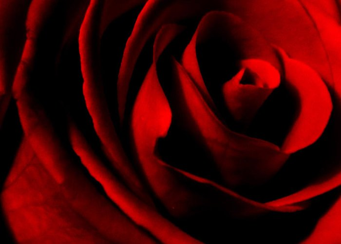 Rose Greeting Card featuring the photograph Red Rose Petals by Robin Lynne Schwind