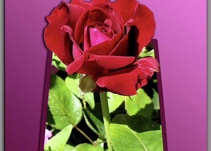 Red Rose Greeting Card featuring the photograph Red Rose by Thomas Woolworth