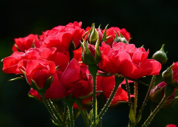 Red Roses Greeting Card featuring the photograph Red Roses by Gallery Of Modern Art