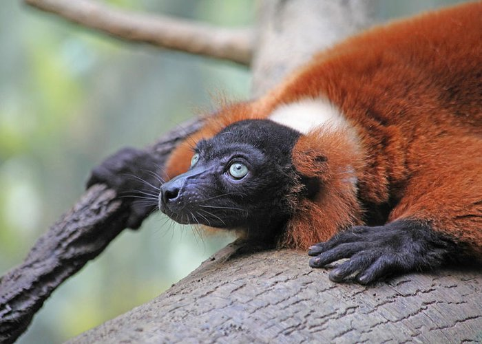 Red-ruffed Lemur Greeting Card featuring the photograph Red-ruffed Lemur by Karol Livote