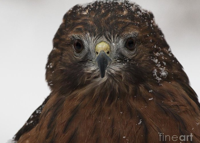 Red Shouldered Hawk Greeting Card featuring the photograph Red Shouldered Hawk Close Up by Emma England