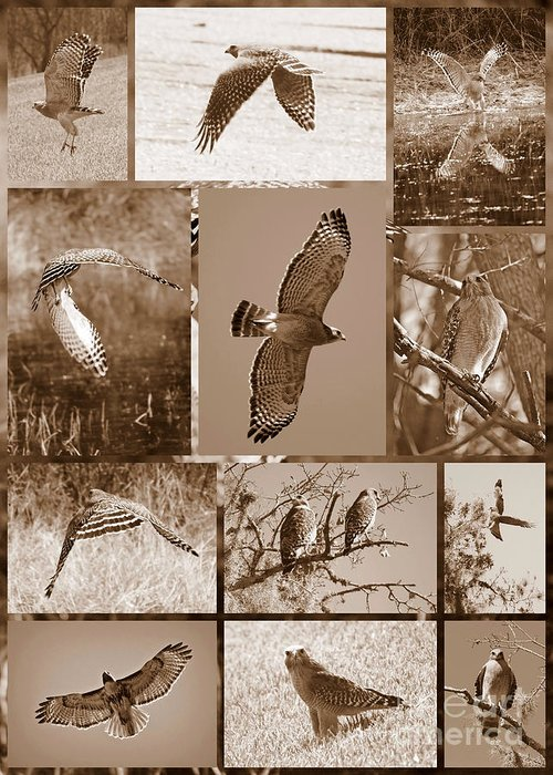Hawk Greeting Card featuring the photograph Red-shouldered Hawk Poster - Sepia by Carol Groenen