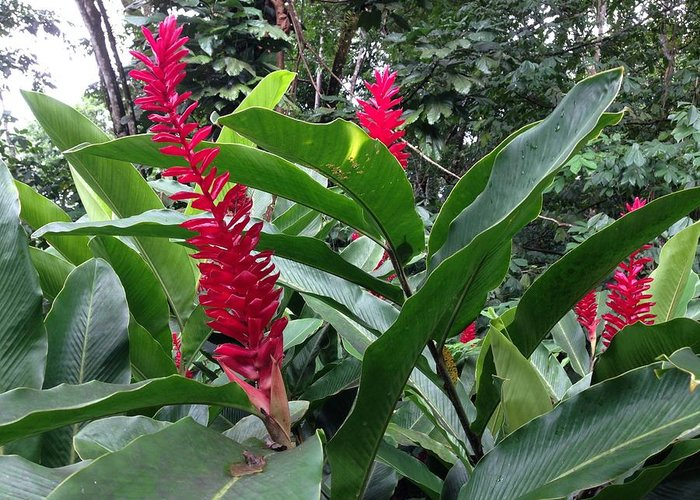 Red Greeting Card featuring the photograph Red Spikes In St Lucia by Ron Torborg
