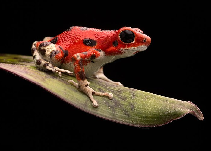Strawberry Frog Greeting Card featuring the photograph Red Strawberry Poison Dart Frog by Dirk Ercken