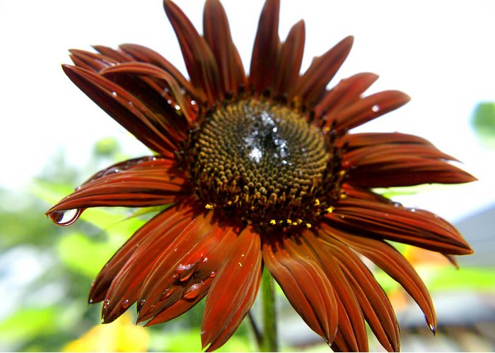Red Greeting Card featuring the photograph Red Sunflower After The Rain by Michael Mercker