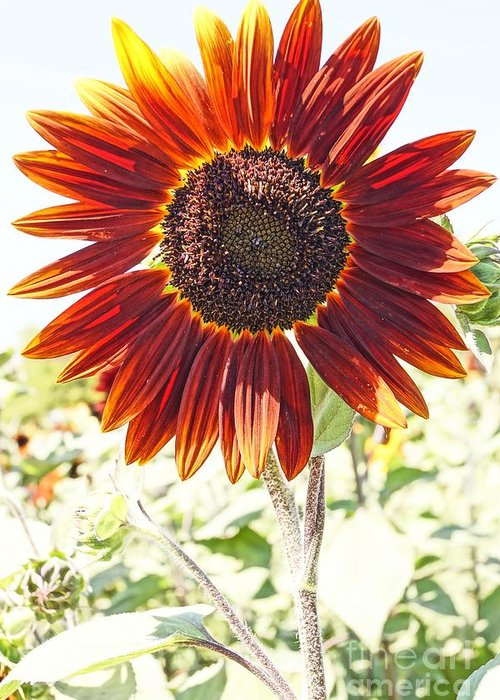 Agriculture Greeting Card featuring the photograph Red Sunflower Glow by Kerri Mortenson