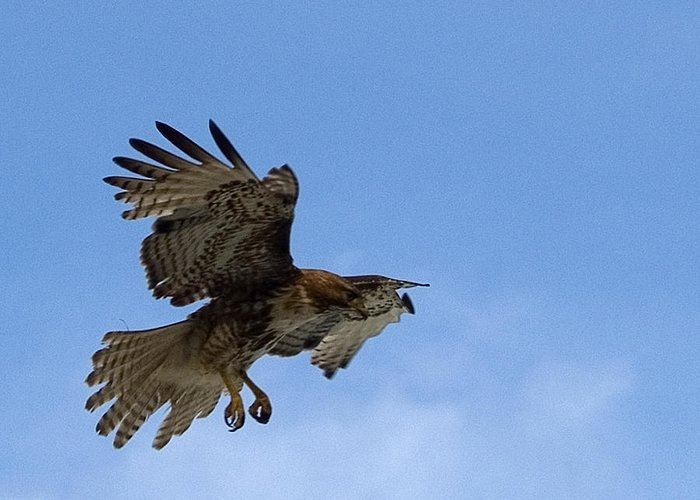 Hawk Greeting Card featuring the photograph Red Tail Hawk by Bill Gallagher