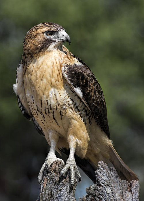 Red Tail Hawk Greeting Cards