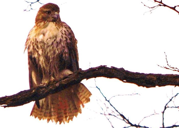 Red-tailed Hawk Greeting Card featuring the photograph Red-tailed Hawk Drying Out by William Fox