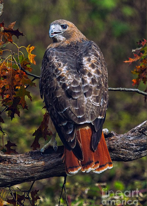 Red Tailed Hawk Greeting Cards