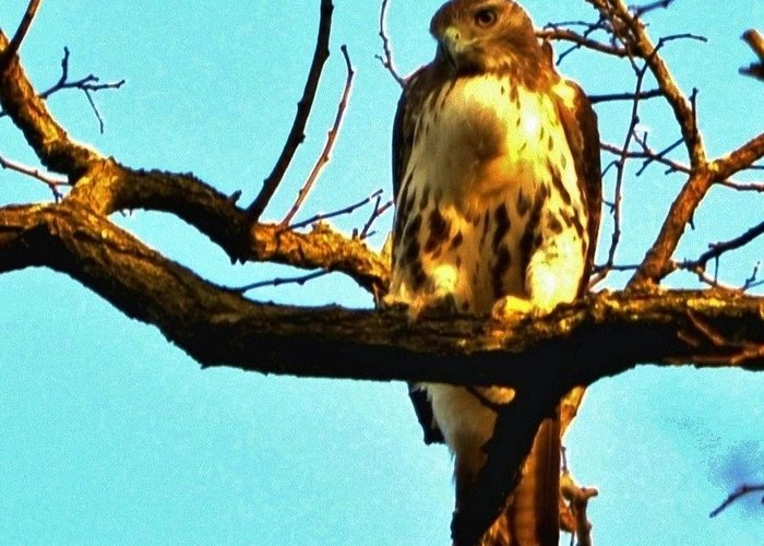 Red-tailed Hawk Greeting Card featuring the photograph Red-tailed Hawk Watching by William Fox