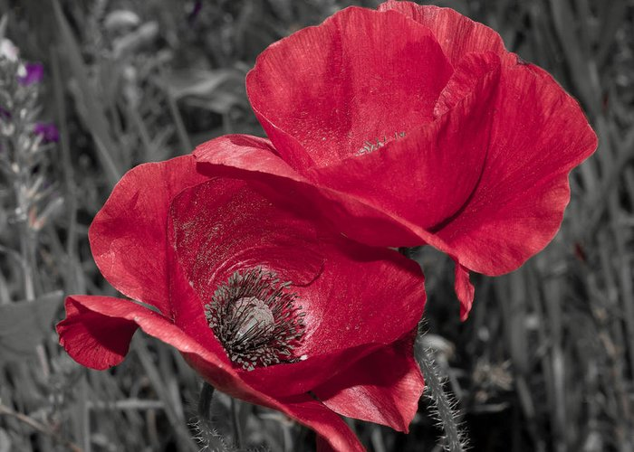 Poppy Greeting Card featuring the photograph Red by Terry Walsh