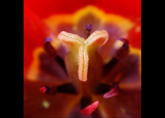Tulip Greeting Card featuring the photograph Red Tulip Abstract by Rona Black