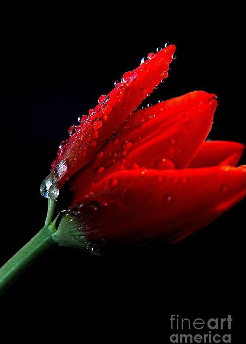 Nature Greeting Card featuring the photograph Red Tulip With Water Drops by Gene Mark