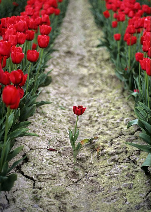 Travel Greeting Card featuring the photograph Red Tulips by Jim Corwin