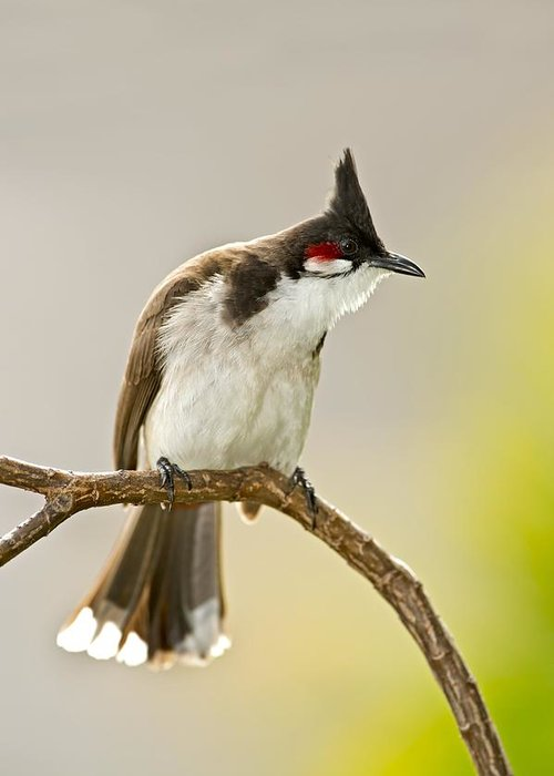 Red Whiskered Bulbul Greeting Cards