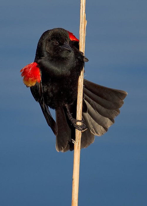 Red-winged Greeting Card featuring the photograph Red-winged Blackbird by Kurt Bowman