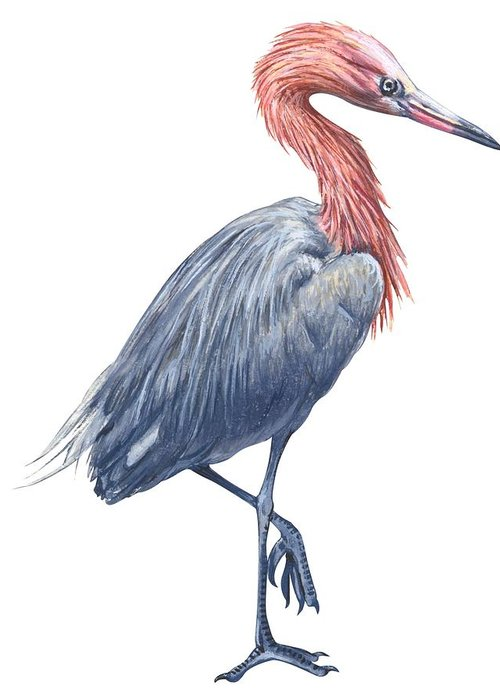No People; Vertical; Side View; Full Length; White Background; One Animal; Wildlife; Close Up; Zoology; Illustration And Painting; Bird; Beak; Feather; Standing On One Leg; Reddish Egret; Egretta Rufescens Greeting Card featuring the drawing Reddish Egret by Anonymous