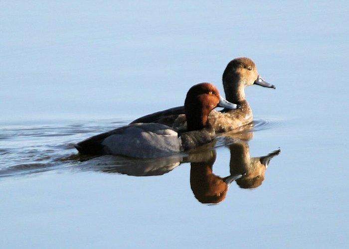 Redhead Ducks Greeting Card featuring the photograph Redhead Pair by John Dart