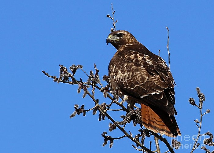 Red-tailed Hawk Greeting Card featuring the photograph Red-tailed Hawk by Marty Fancy