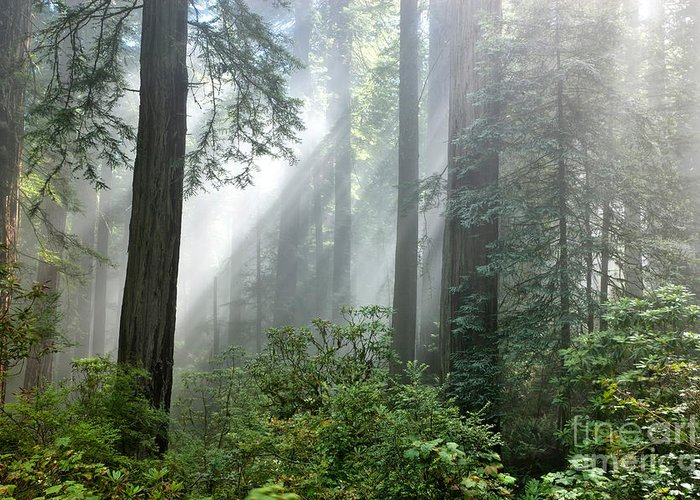 Redwood Trees Greeting Card featuring the photograph Redwood Forest With Sunbeams by Inga Spence