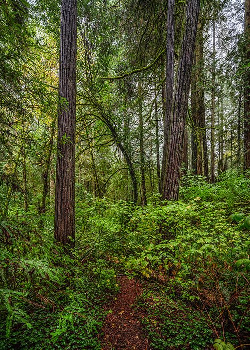 Copyrighted Greeting Card featuring the photograph Redwoods 2 by Mike Penney