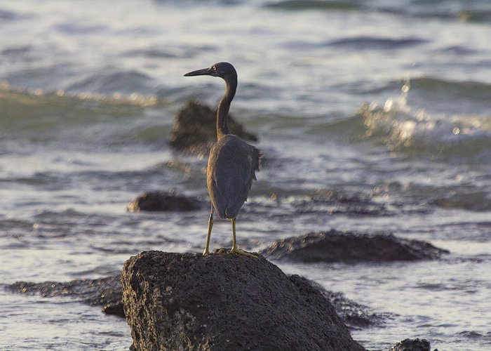 Reef Egret Greeting Card featuring the photograph Reef Egret by Douglas Barnard