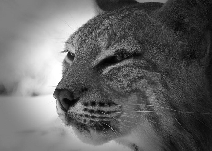 Bobcat Greeting Card featuring the photograph Reflecting Bobcat... by Christena Stephens
