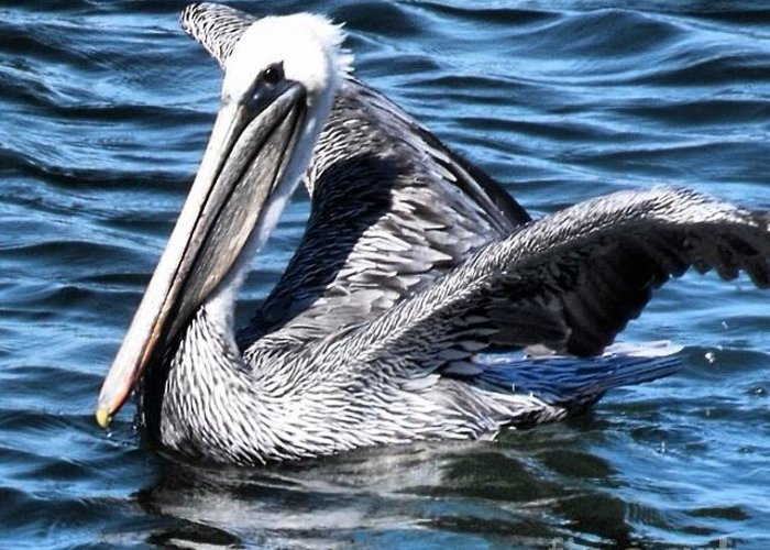 Bird Greeting Card featuring the photograph Regal Pelican by Phil Huettner