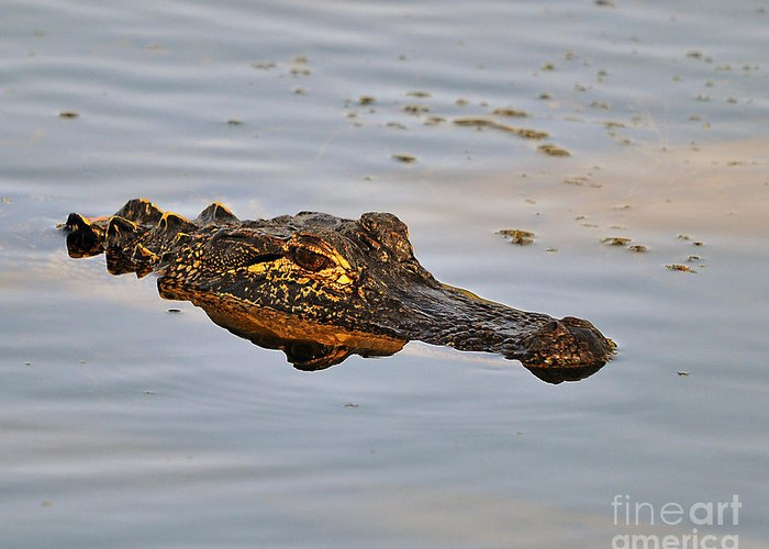 Alligator Greeting Card featuring the photograph Reptile Reflection by Al Powell Photography USA